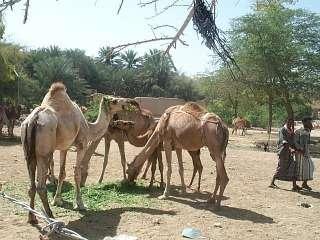 Wadi Hadramaut - Tarim - Camel Market